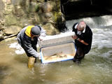 Migrating trout being released in Alameda Creek